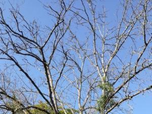 Un frêne atteint par la chalarose